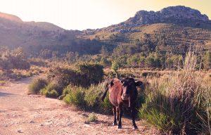 Neugierig betrachtet dieser junge Stier die Wanderer, er ist offenbar Besucher gewöhnt und stört sich nicht weiter an uns.